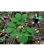 Seeds Extra Rare!! Wild Canadian Ginseng STRATIFIED Seeds for 2019-2020 and Ready to Sow. Ships from Canada!