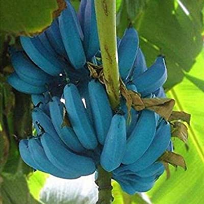 discountstore145 200Pcs Blue Banana Tree Seed Plant Delicious Fruit Organic Garden Planting Decor - Banana Seeds : Garden & Outdoor