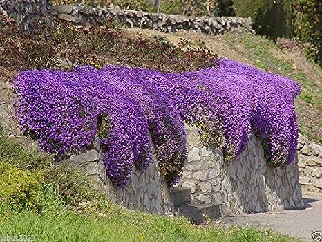 250X Cascade Purple Aubrieta Flower Seeds Perennial Ground Romantic Cover G C4T9