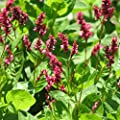 Japanese Indigo Seeds (Persicaria tinctoria) 15+ Rare Dye Plant Medicinal Herb Seeds in FROZEN SEED CAPSULES for the Gardener & Rare Seeds Collector - Plant Seeds Now or Save Seeds for Years