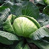 David's Garden Seeds Cabbage Dutch OS22101 (Green) 200 Organic Seeds