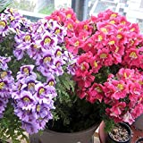 Wintefei 100Pcs Colorful Schizanthus Pinnatus Flower Seeds Angel Wing Garden Plants Decor
