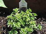 OREGANO ITALIAN Live Plants Herb Plant Non-GMO Organic - 2 Live Plants Fit 3.5