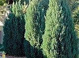 Blue Point Upright Juniper Tree - Trade Gallon