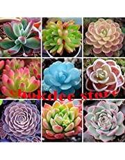 chokdee store Semillas De Flores 50 lithops Seed Pseudotruncatella Succulents Raw Stone Cactus Seeds