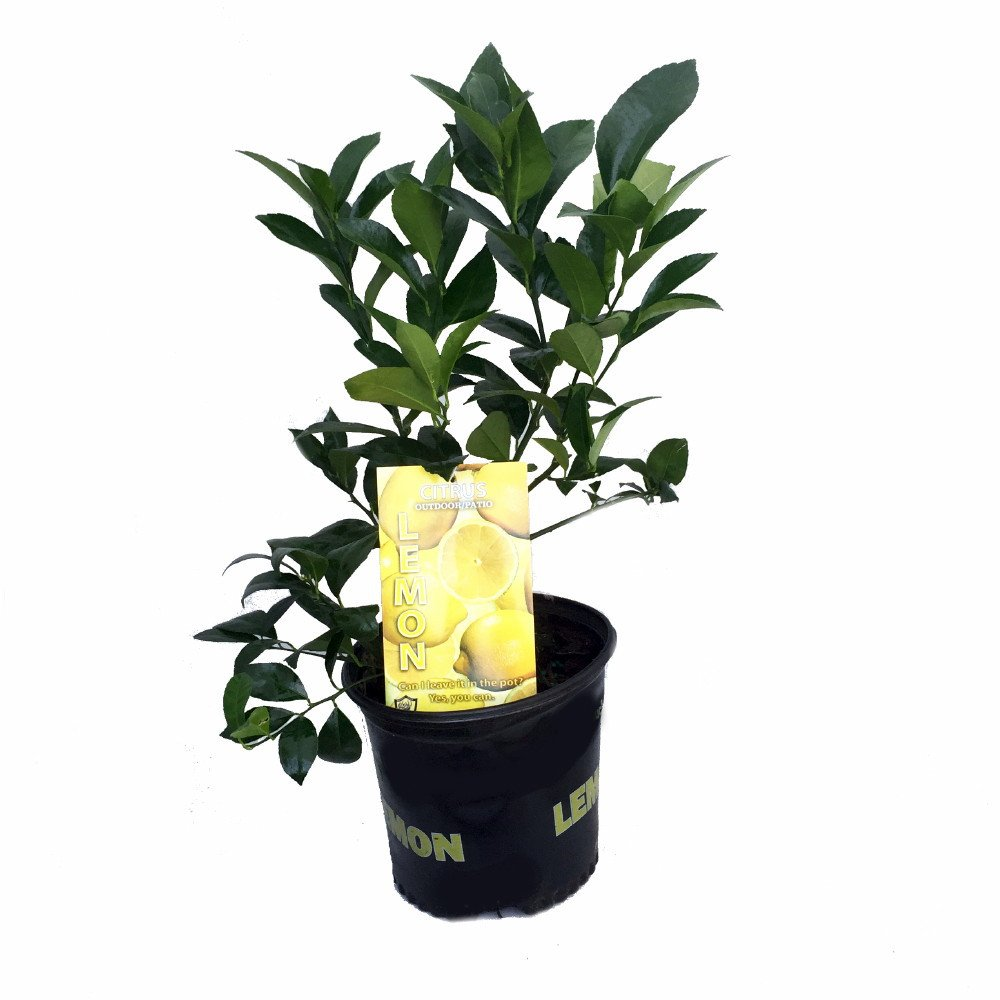 Decorative Indoor Trees Amazoncom Meyer Lemon Tree Fruiting Size Branched Plant 8