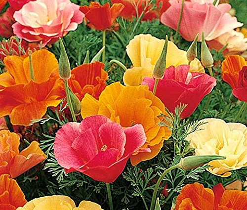 Non GMO Bulk California Poppy Seeds - Mission Bells Mix Eschscholzia californica 58,500 Seeds (1/4 Lb)