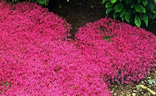 200 Creeping Thyme Seeds Flower Seeds ROCK CRESS GROUND COVER Seeds Carpet Evergreen Plant Easy to Grow for Garden Lawn Red