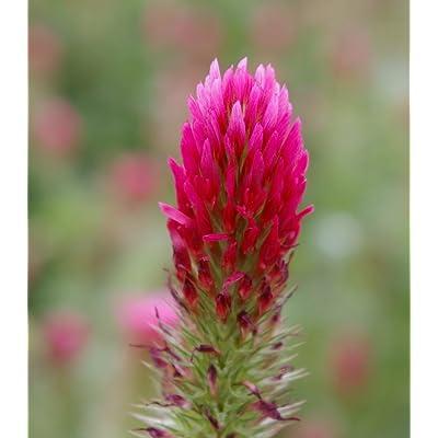 3000 CRIMSON CLOVER (Carnation, French, or Italian Clover) Trifolium Incarnatum Flower Seeds: Toys & Games