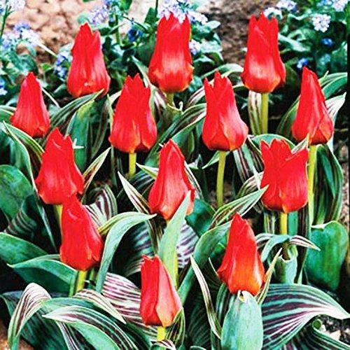 50 x Red Riding Hood Rockery Tulip Bulbs