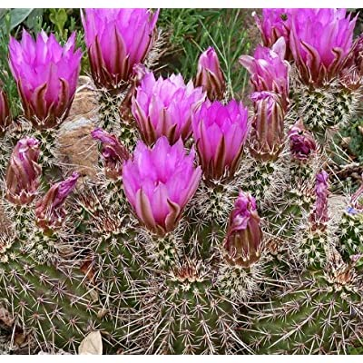 Cheap Fresh Hardy Seeds Echinocereus Engelmannii Chrysocentrus Get 10 Seeds Easy Grow #GRG01YN : Garden & Outdoor