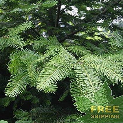 Amazoncom Grand Fir Abies Grandis 20 Seeds Garden Outdoor