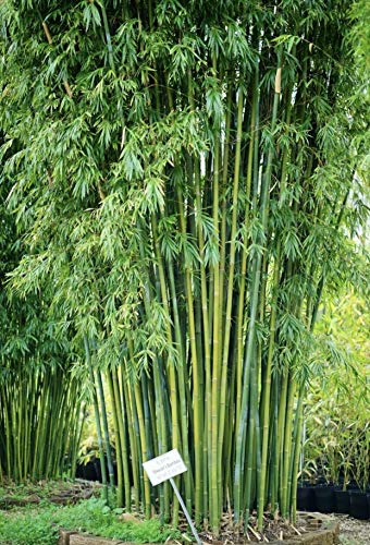 Very Elegant Blue and Green 'Weaver's' Non-Invasive Clumping Bamboo Root Division (Bambusa textilis) Tall Dense Privacy Screen