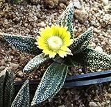 Nananthus Margaritiferus Living Stone Cacti mesembs Rock ice Plant Seed 15 Seeds