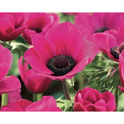 Pack 50 Bulbs/Tubers Anemone Top Quality Bulbs: Garden & Outdoor