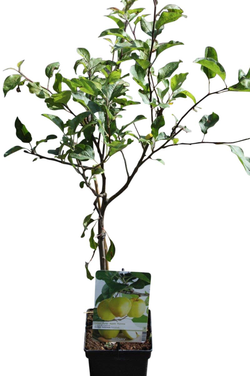 Garden Market Place Dwarf Patio Fruit Tree- Apple- Variety Golden Delicious - Approx 75cm Tall - Olive Grove