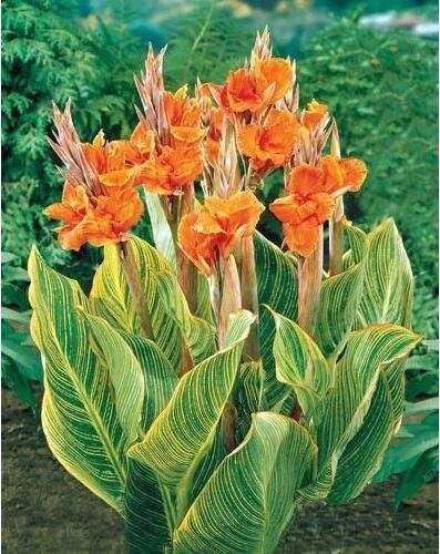 - HOO PRODUCTS - flower Seeds Potted seed Canna Lily Seeds - PRETORIA - Variegated Foliage - Exotic Blooms Shipping 10pcs New Arrival !