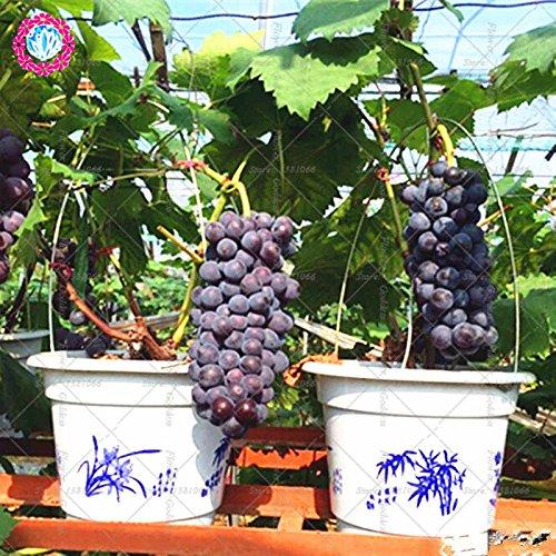 50pcs grape seeds bonsai fruit black grape seeds Dwarf grapes tree easy grow Japanese fruit seeds for home garden planting