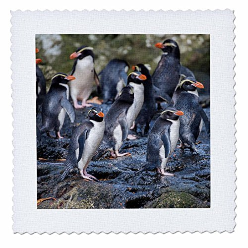 3dRose Danita Delimont - Penguins - New Zealand, Snares Islands, The Snares. Snares crested penguin. - 14x14 inch quilt square (qs_277141_5) -