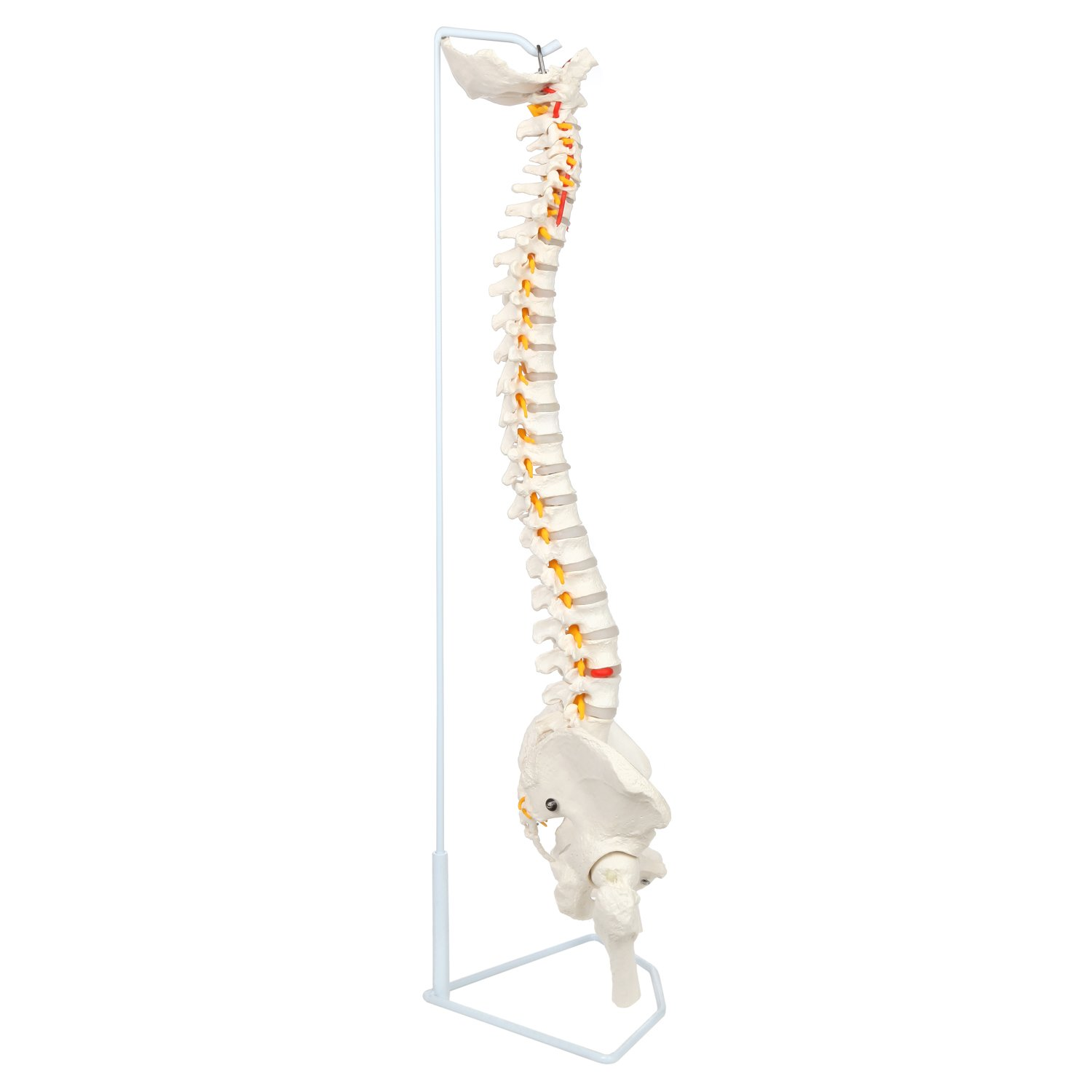 Axis Scientific Life Size Flexible Vertebral Column with Male Pelvis, Spinal Nerves and Arteries, Includes Metal Stand and 3 Year Warranty by Axis Scientific