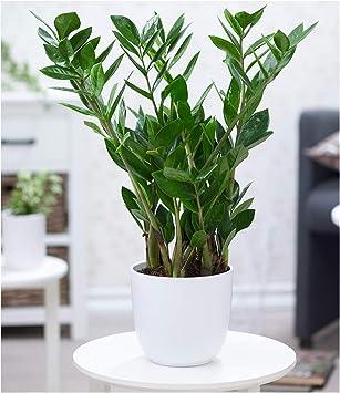 Zimmerpflanze groß