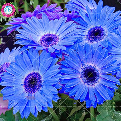 ShopMeeko Seeds:100Pcs Bonsai Blue Daisy Indoor Flowers Plants Flower Bellis Perennis for Home Garden Plant Easy to Grow : Mix