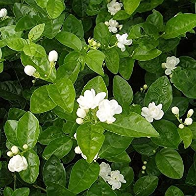 Opla3ofx 100Pcs Jasmine Flower Seeds Fragrant Home Garden Plant Seed Wedding Party Decor Seeds for Planting, Idea Outdoor and Indoor Ornament : Garden & Outdoor
