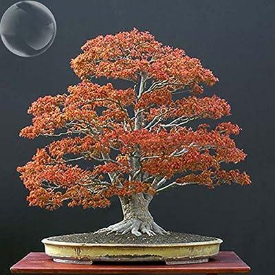 ADB Inc 2016 Maple Northern Sugar Acer Japanese Maple Tree