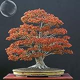 ADB Inc DD Maple Tree 2 Pack Northern Sugar Acer Japanese Maple Tree