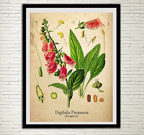 Foxglove Vintage Plant Print Antique Botanical Home Decor Medicinal Plant Wall Art Digitalis Purpurea Wall - Purpurea Foxglove Digitalis