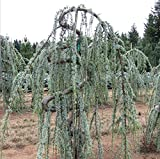 New Life Nursery & Garden- - Weeping Blue Atlas Cedar- - Serpentine', Trade Gallon Pot