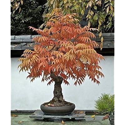Fragrant Sumac 20 Seeds - Rhus aromatica - Shrub/Tree : Tree Plants : Garden & Outdoor