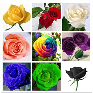 QEBIDVL 200pcs Mixed Color Rose Seeds for Garden Planting-12 Varieties of Rose Seeds Non-GMO Heirloom 90% Germination Rate Open Pollinated Seeds Wonderful Gardening Gifts