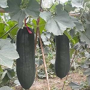 10pcs Big Wax Gourd Seeds Garden Plant Cooking Vegetable