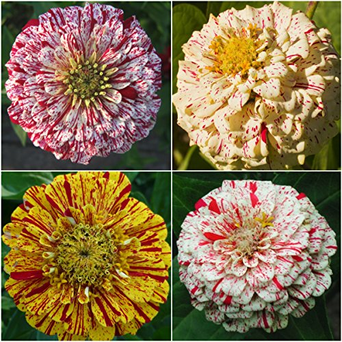 Package of 250 Seeds, Peppermint Stick Zinnia (Zinnia elegans) Open Pollinated Seeds By Seed Needs