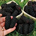 100 Seeds / Pack Thornless Blackberry Seeds ,delicious ,nutritious, Sweet, Natural Snack, Perennial Garden Or Pot Fruit