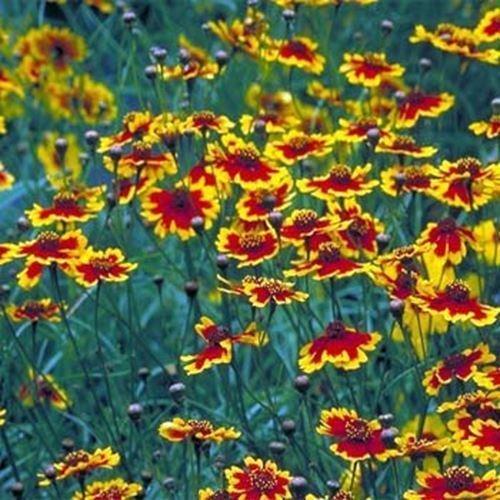 5000 SEEDS - Coreopsis Plains Wildflower Seeds