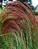 ERAGROSTIS RUBY SILK ORNAMENTAL GRASS/PERENNIAL/THRIVES IN POOR SOILS, 50 seeds