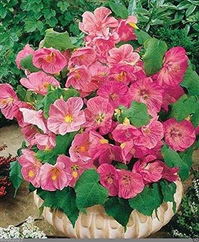 Amazoncom Abutilon 10 Seeds Abutilon Hybridum Bella Pink