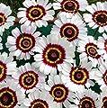 """Painted Daisy"" Chrysanthemum Flower Seeds, 1000+ Premium Heirloom Seed, 80% Germination, (Isla's Garden Seeds), Non Gmo"