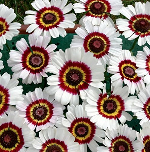 """Painted Daisy"" Flower Seeds, 1000 Heirloom Flower Seeds Per Packet, Non GMO Seeds, Isla's Garden Seeds"