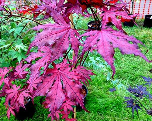 Amazoncom Purple Ghost Japanese Maple Acer Palmatum Purple Ghost
