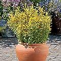 Park Seed Arizona Sun Hummingbird Mint Seeds