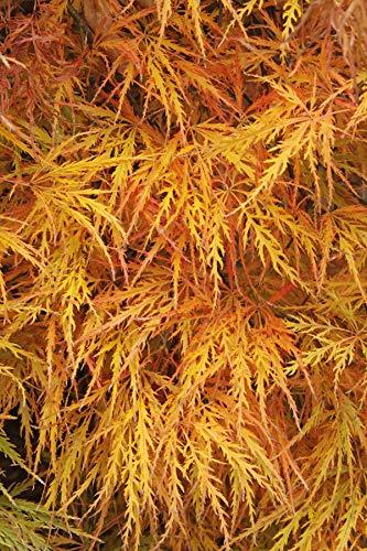 Portal Cool Acer Palmatum Dissectum (Cut Leaf Japanese Maple) - 10 Seeds
