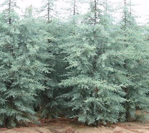 New Life Nursery & Garden Blue Ice Arizona Cypress Tree, Trade Gallon Pot