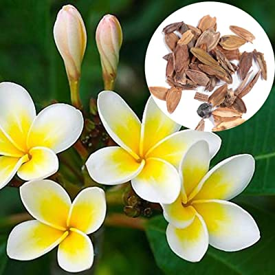 Seed House-KOUYE 20 Pieces Plumeria Seeds Frangipani Seeds Lemon Fragrance Plumeria Plants Seed Hardy Perennial Flowers sseds for Garden, Balcony : Garden & Outdoor