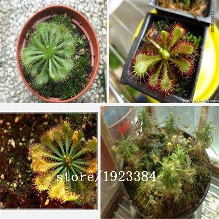 200pcs Lot Drosera Sundew Seeds Carnivorous Plants Bonsai Flower Seeds Home Garden Buy Online In Belize At Belize Desertcart Com Productid 48693779