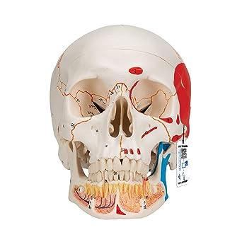 3B Scientific A20//9 Plastic Classic Human Skull Model with 8 Part Brain 7.9 x 5.3 x 6.1