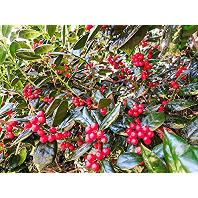 Perfect Plants Dwarf Burford Holly Live Plant, 3 Gallon, Includes Care Guide : Garden & Outdoor