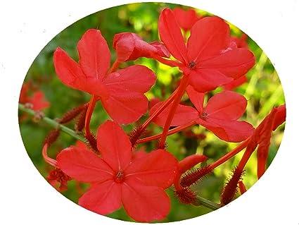 Amazon scarlet crimson laurel plumbago semi tropical perennial scarlet crimson laurel plumbago semi tropical perennial live plant red flowers attracts hummingbirds starter size mightylinksfo